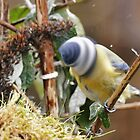 Bird : the Router blue Tead !  2015  4 (c)(t)  by Olao-Olavia / Okaio Créations  by fz 1000  360.000 photos by Okaio - caillaud olivier