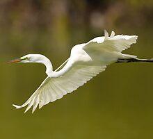 Great White Egret in Flight by William C. Gladish