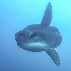 Ocean Sunfish by Mark Rosenstein