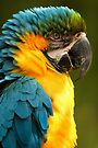 Macaw with Ruffled Feathers by William C. Gladish
