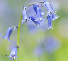 Bluebell Woodland  by imagejournal