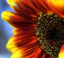 A Sunflower Set ( 6 ) Closing In by Larry Lingard-Davis