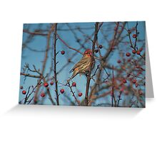 House finch plucking fruit from the crabapple tree Greeting Card