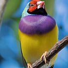 Gouldian Finch by William C. Gladish