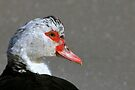 Female Muscovy Duck by NatureGreeting Cards ©ccwri