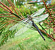 *Dragonfly in garden at the Farm - Vic. Aust.* by EdsMum