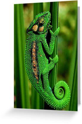 Cape Dwarf Chameleon II by Macky
