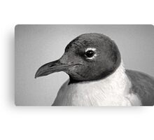 Laughing Gull Two  Canvas Print