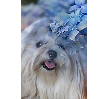 dog and hydrangea in the garden Photographic Print