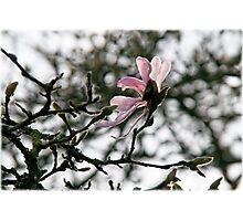 Winter Magnolia Photographic Print