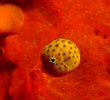 Baby pufferfish, Blairgowrie, Melbourne by Sean Elliott
