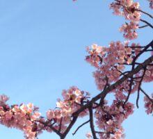 Pink Sakura/Cherry Blossom Sticker