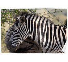 Zebra KwaZulu-Natal South Africa Poster