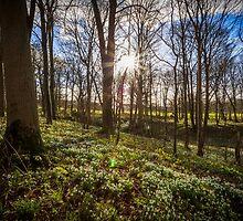Snowdrops Sunburst by Nicholas Jermy