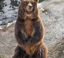 Brown  grizzly bear on a rock by JPopov