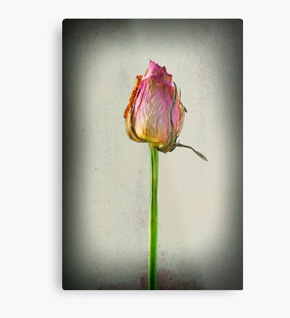 Old Rose on Paper Metal Print