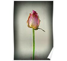 Old Rose on Paper Poster