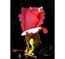 Curly Rose Photographic Print
