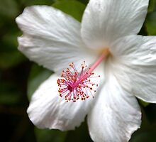 White Hibiscus by Brian Harig
