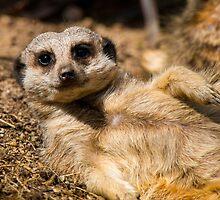 Meerkat by Chris Dykes