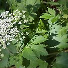 Cow Parsnip Shadow by Sandra Foster