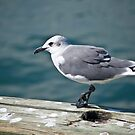 Seagull in Galveston Bay by Diego Re