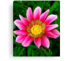 Pink Gazania flower  Canvas Print