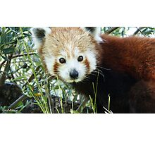 Cute Red Panda Face zoo Photographic Print