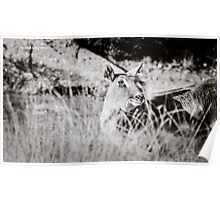 black and white portrait of an innocent doe Poster