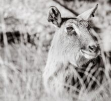 black and white portrait of an innocent doe Sticker