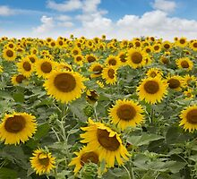 Panorama of Texas Sunflowers in Late June by RobGreebonPhoto