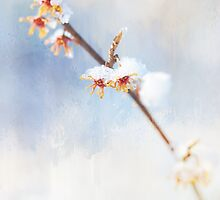 Frosted Witch Hazel Blossoms  by Anita Pollak