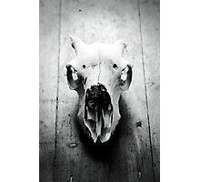 Still Life of an animals skull Photographic Print