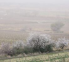 Almonds in the mist. by Paul Pasco