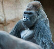 SilverBack Gorilla by ChrisFrankPhoto