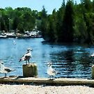 Seagulls Sitting on Dock by Susan Savad