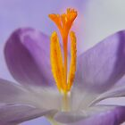 The Heart Of Crocus by Terence Davis