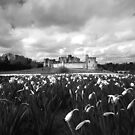 Alnwick Castle Daffodils by Stormswept