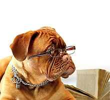 Mastiff Dog With Glasses by critterville