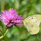 Clouded Yellow Butterfly by Kathleen Brant