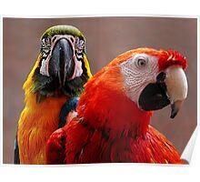 Two Parrots Closeup Poster