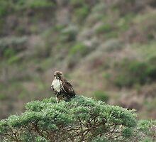 Cooper's Hawk by Laurie Puglia