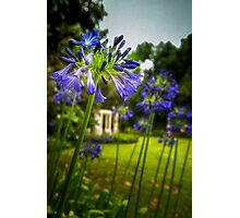 Agapanthus in the Garden Photographic Print