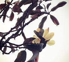Magnolia Branch by Barbara Wyeth
