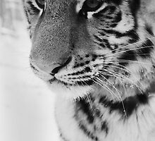 Snowy Tiger by lorehess
