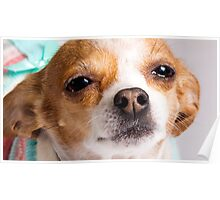 Karina the Precious Chihuahua Poster