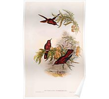 A monograph of the Trochilidæ or family of humming birds by John Gould 1861 V4 266 Poster