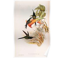 A monograph of the Trochilidæ or family of humming birds by John Gould 1861 V4 134 Poster