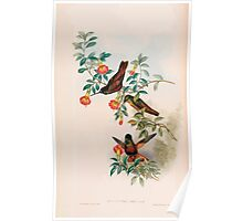 A monograph of the Trochilidæ or family of humming birds by John Gould 1861 V4 146 Poster