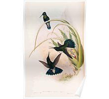 A monograph of the Trochilidæ or family of humming birds by John Gould 1861 V4 098 Poster